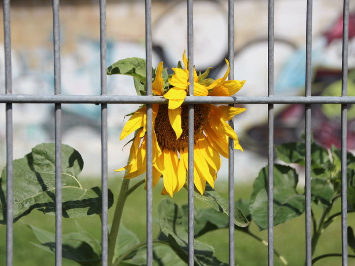 Refugee Beauty Behind Bars Beauty In Nature Blooming Botany Close-up Day Flower Flower Head Focus On Foreground Fragility Freshness Green Color Growth Leaf Nature No People Outdoors Petal Plant Sunflower Urban Garden Yellow