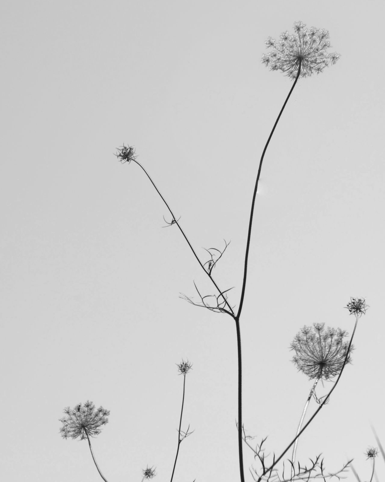 Flower Growth Nature Plant Tree No People Outdoors Beauty In Nature Day Clear Sky Fragility Flower Head Sky Freshness EyeEm Nature Lover Eye4photography  EyeEm Gallery EyeEm Best Shots Blackandwhite Blackandwhite Photography EyeEm Bnw