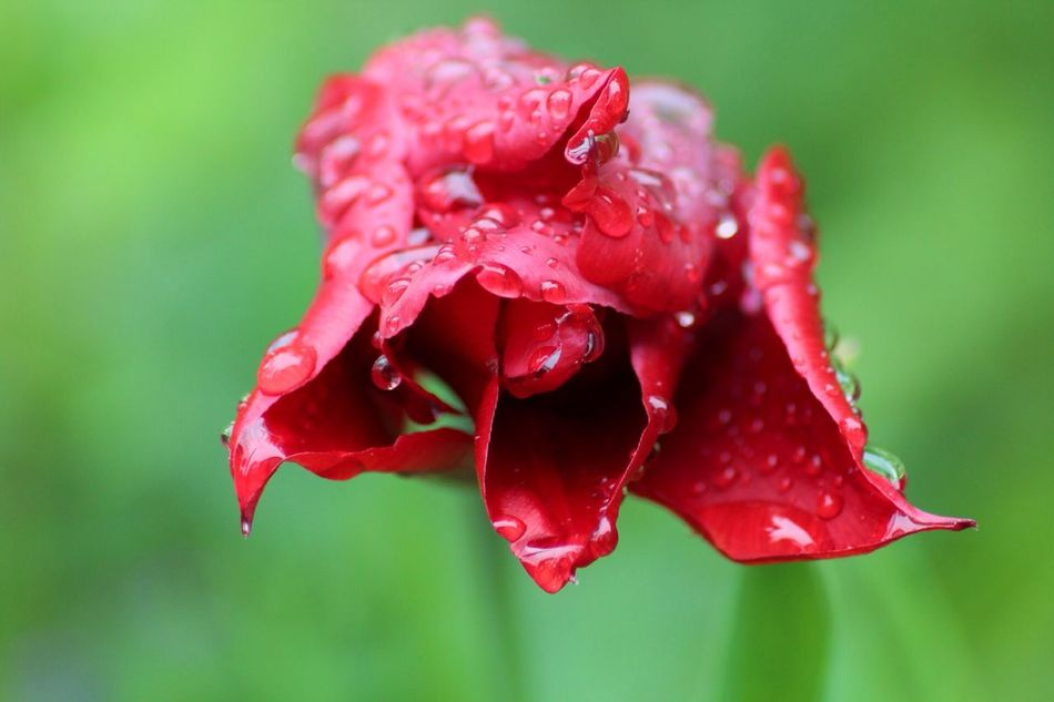 Red Flower Drop Nature Beauty In Nature Petal Fragility Wet Water Close-up Growth Flower Head No People Rose - Flower Plant Day Focus On Foreground Freshness Outdoors Blooming