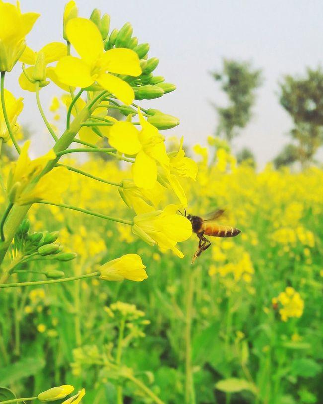 Bee 🐝 Open Edit Beautiful Littleflower Eyeem Pakistan In Pakistan Nawanlahore Beauty Of Nature Pakistanphotochallenge Withouteffect Flowerporn Yellow Flowers Flowers Mobilephotography