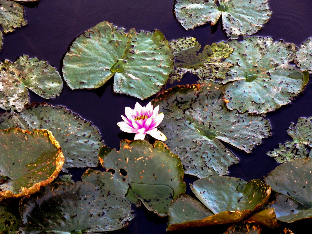 leaf, growth, flower, nature, beauty in nature, fragility, no people, lily pad, water lily, water, high angle view, petal, freshness, day, plant, outdoors, flower head, floating on water, lake, lotus water lily, close-up