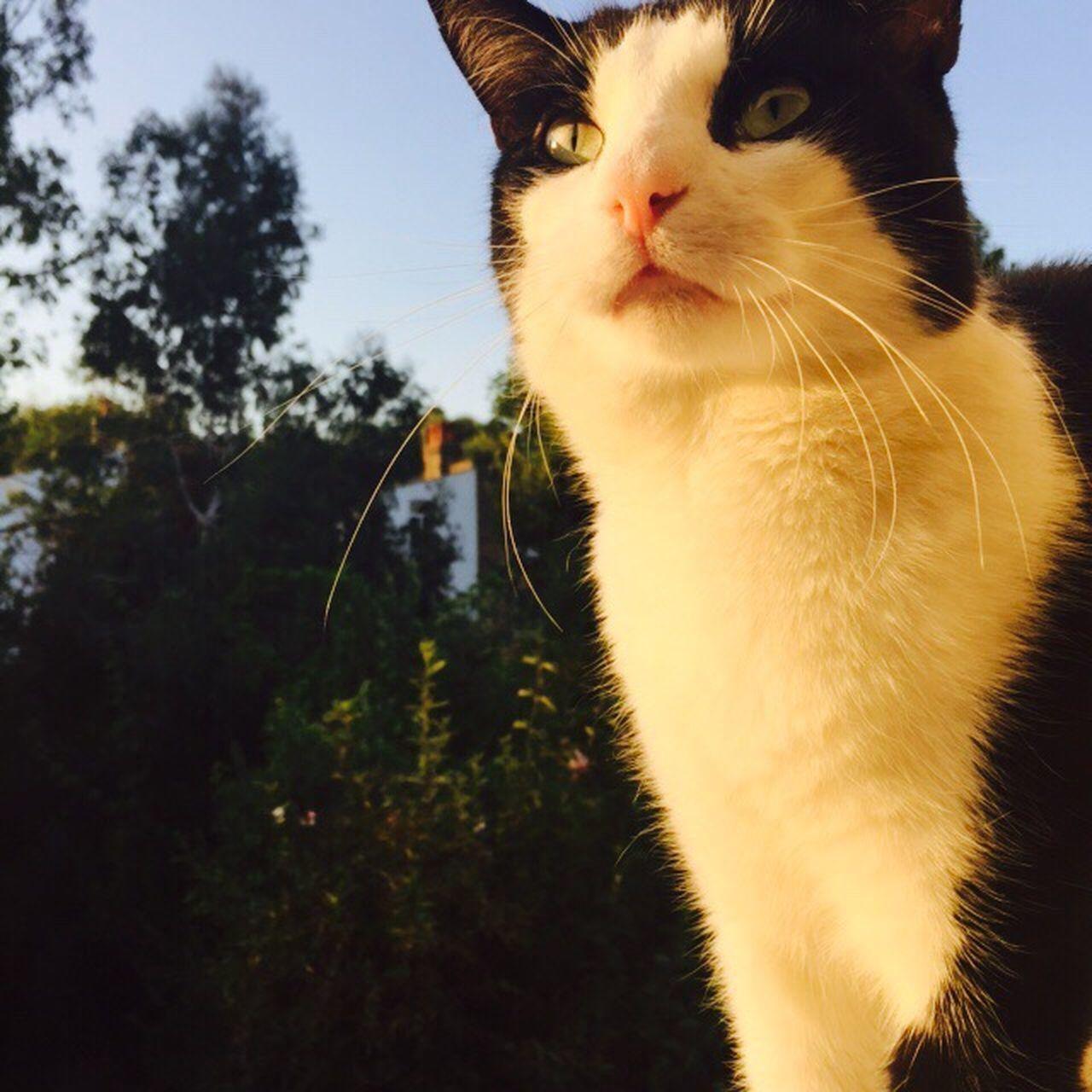 No edit, cat :) Pets Cat Feline Tree Close-up Blackandwhitecat Whisker Whiskers Clear Sky