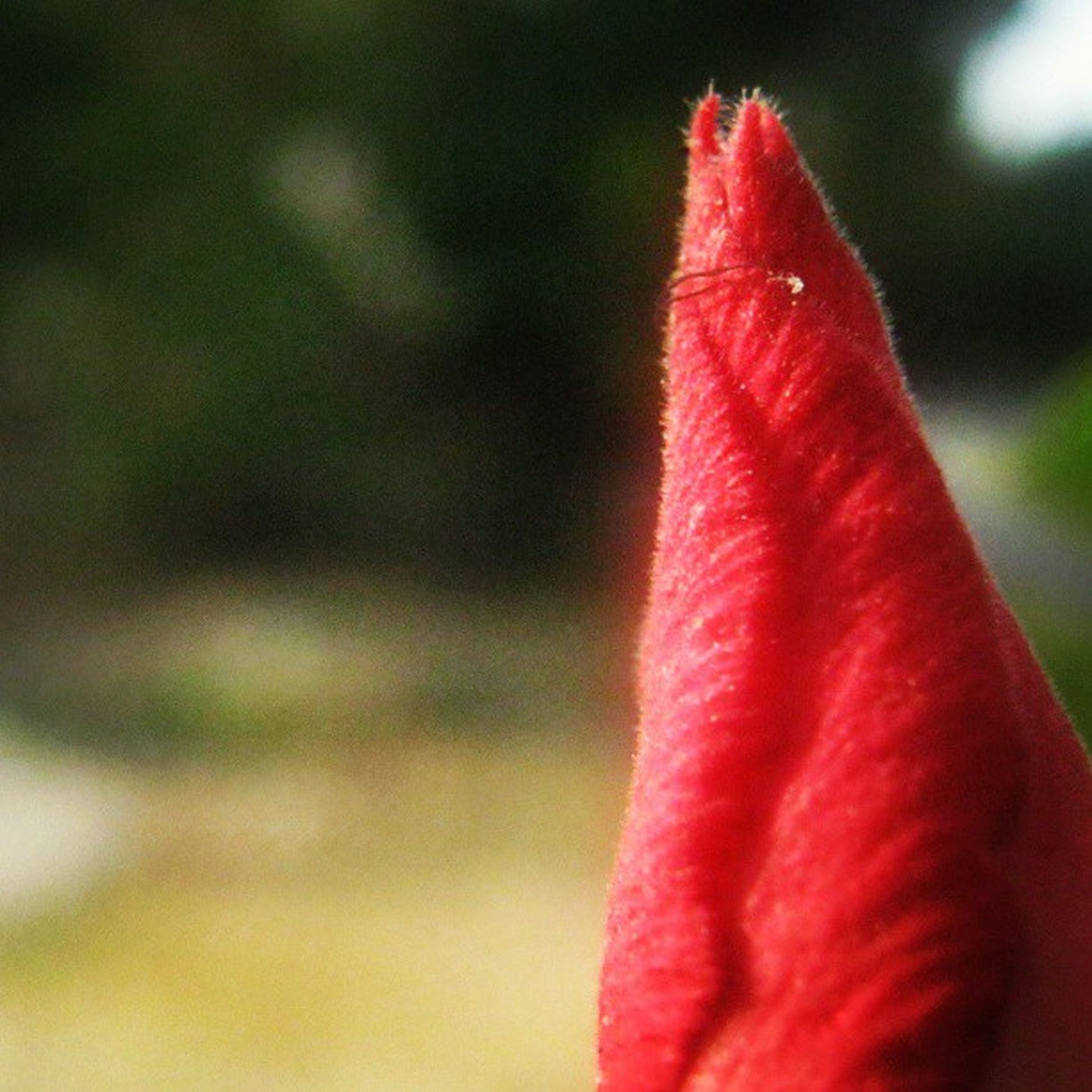 [ pucuk ] Flower Red Adenium Waykanan lampung indonesia instanusantara naturekingdom koolplant nature