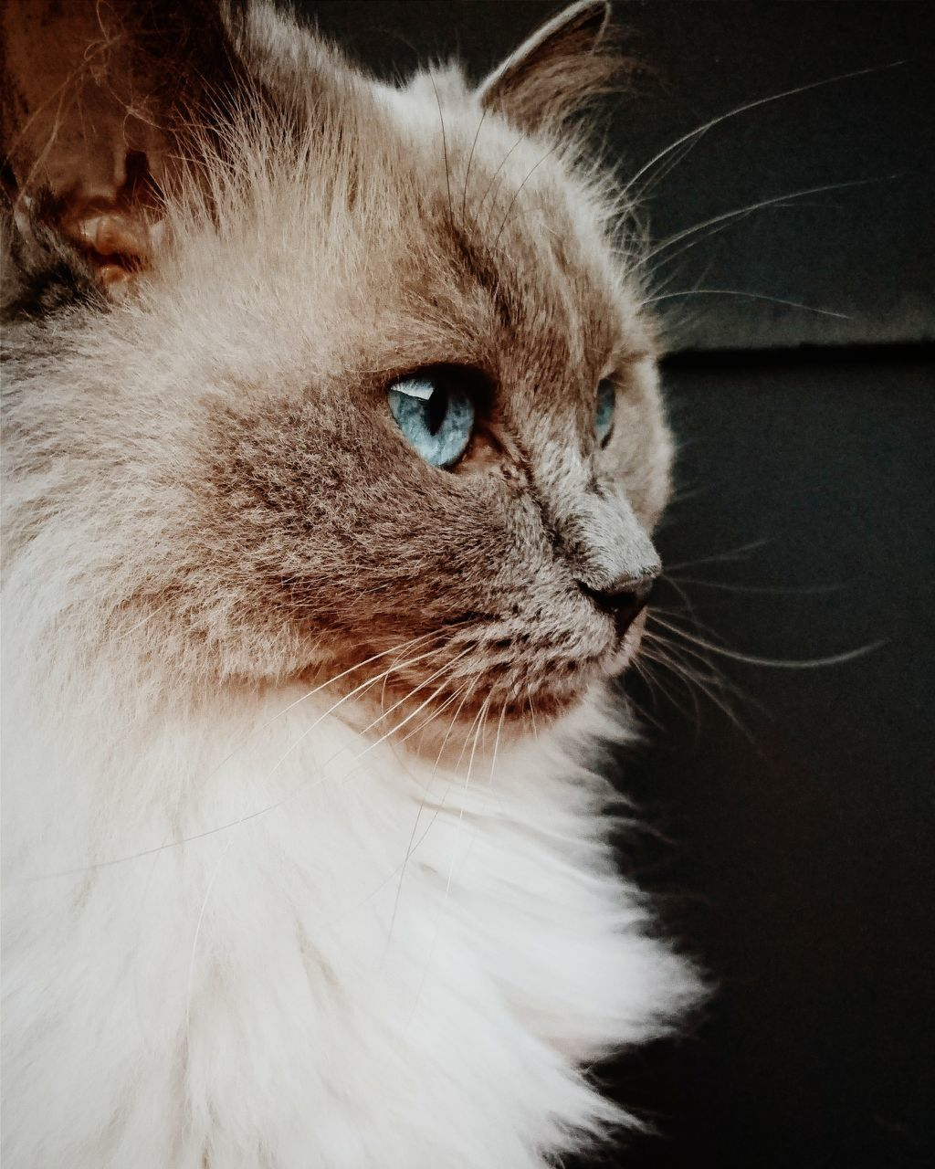 domestic cat, pets, feline, domestic animals, one animal, whisker, animal themes, mammal, cat, indoors, close-up, persian cat, no people, day