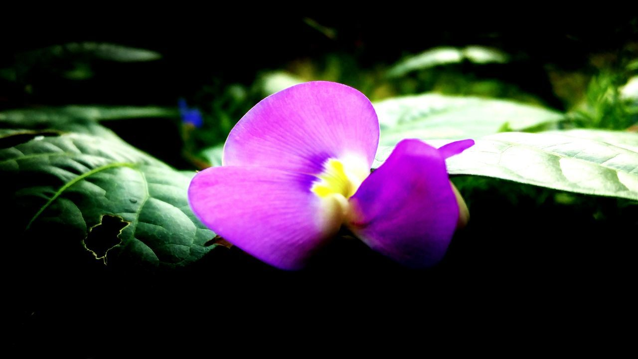 flower, petal, beauty in nature, flower head, fragility, growth, nature, freshness, plant, close-up, leaf, no people, blooming, day, outdoors, petunia