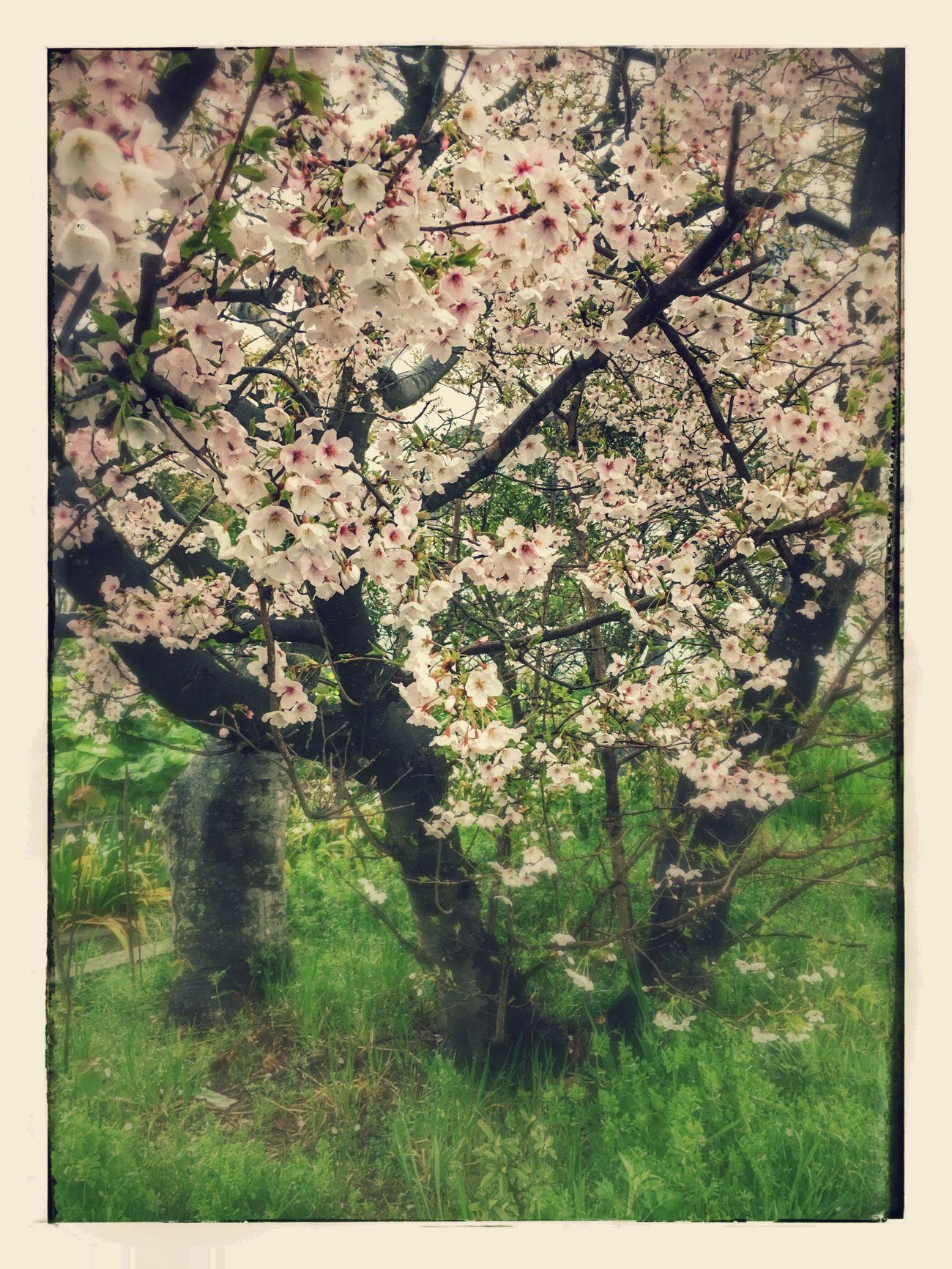 Springtime Nature Flower Sakura