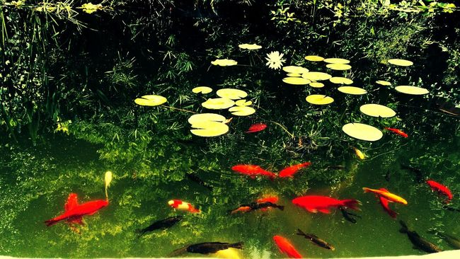 Fine Art Photography pond in the garden of roses Florence Pond