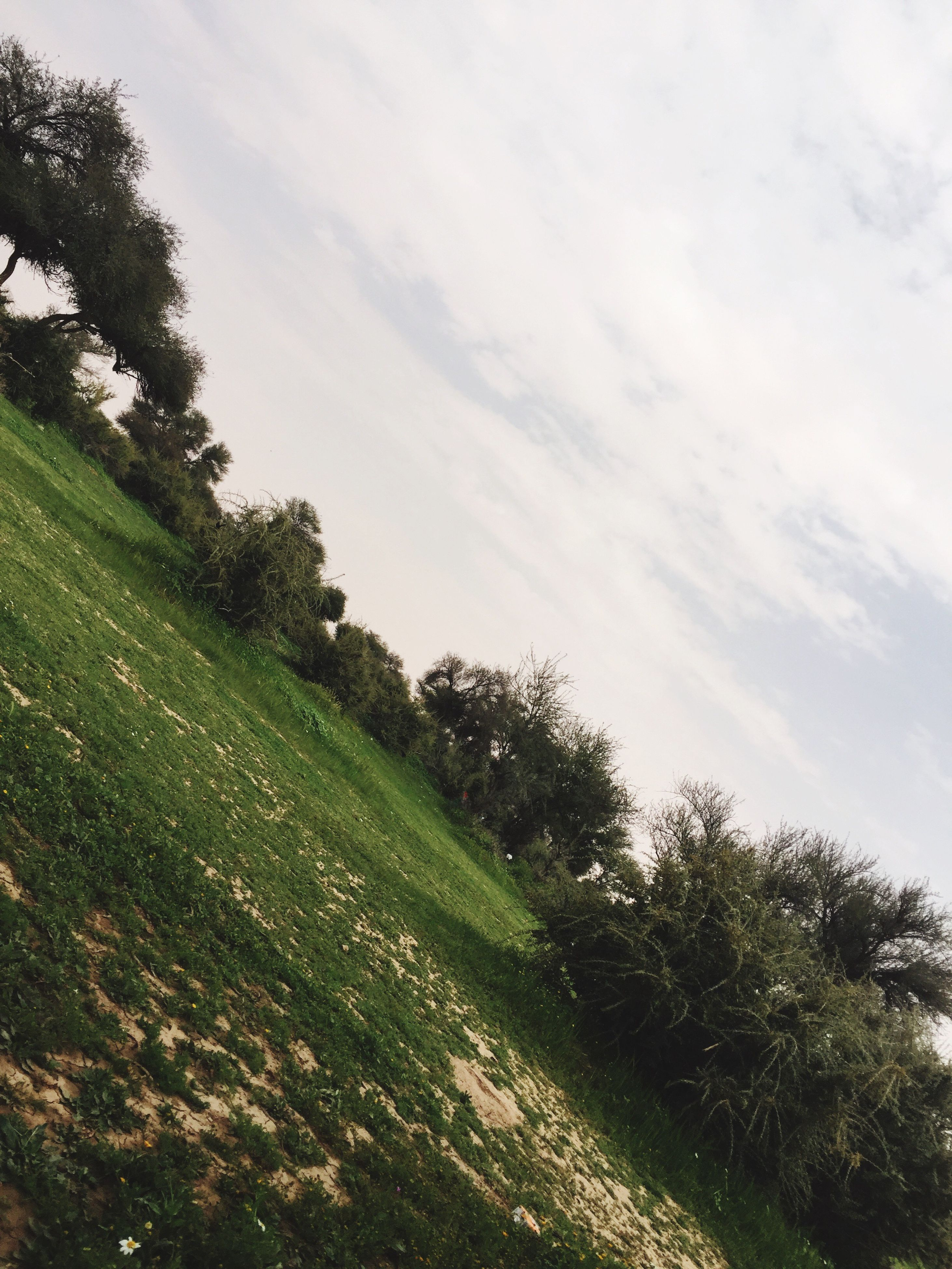tree, nature, growth, sky, green color, tranquility, tranquil scene, beauty in nature, no people, scenics, landscape, outdoors, grass, low angle view, day, agriculture