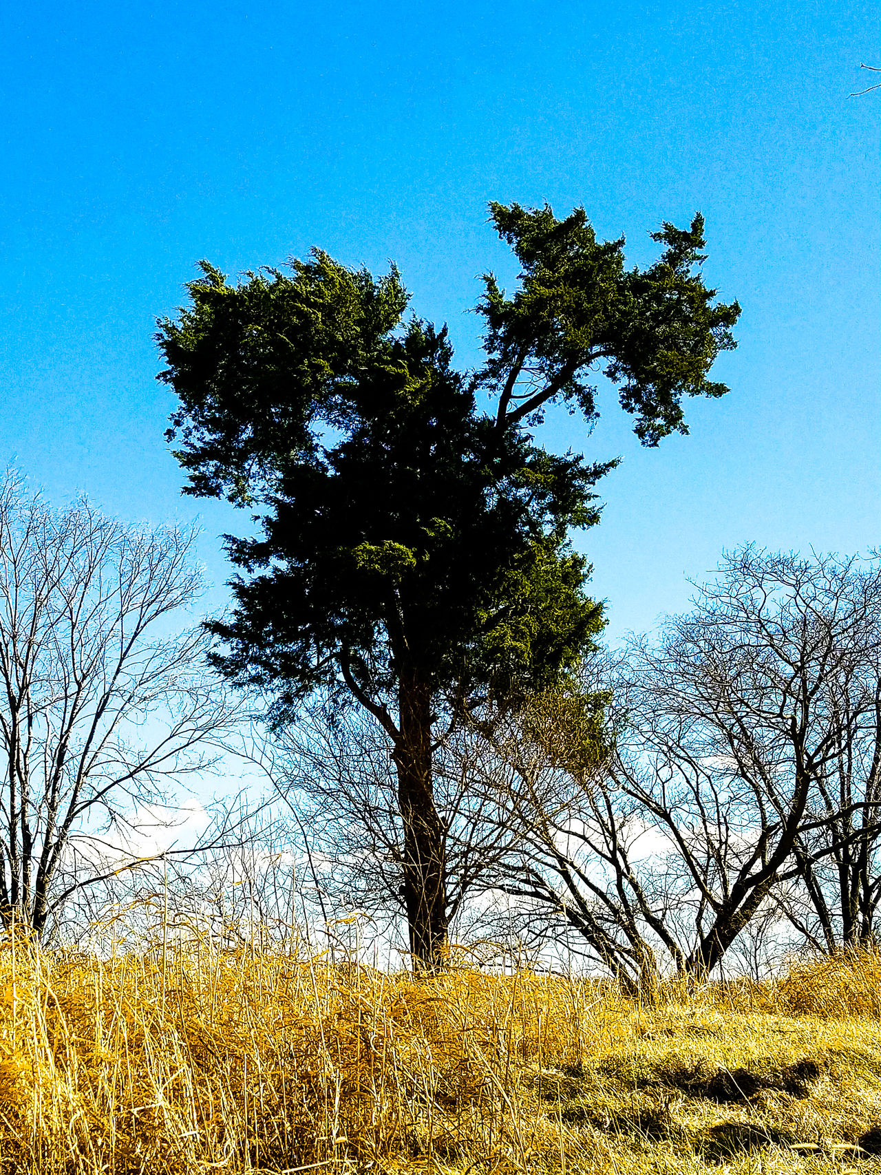 Prarie pine Tree Sky No People Low Angle View Nature Growth Clear Sky Outdoors Beauty In Nature Day Countryside Landscape