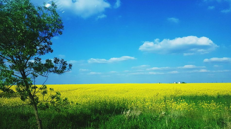 Field Agriculture Rural Scene Nature Growth Sky Beauty In Nature Cloud - Sky Yellow Tree Crop  Outdoors Tranquil Scene Green Color Blue Day Landscape Freshness Tranquility Scenics Break The Mold Art Is Everywhere Cut And Paste