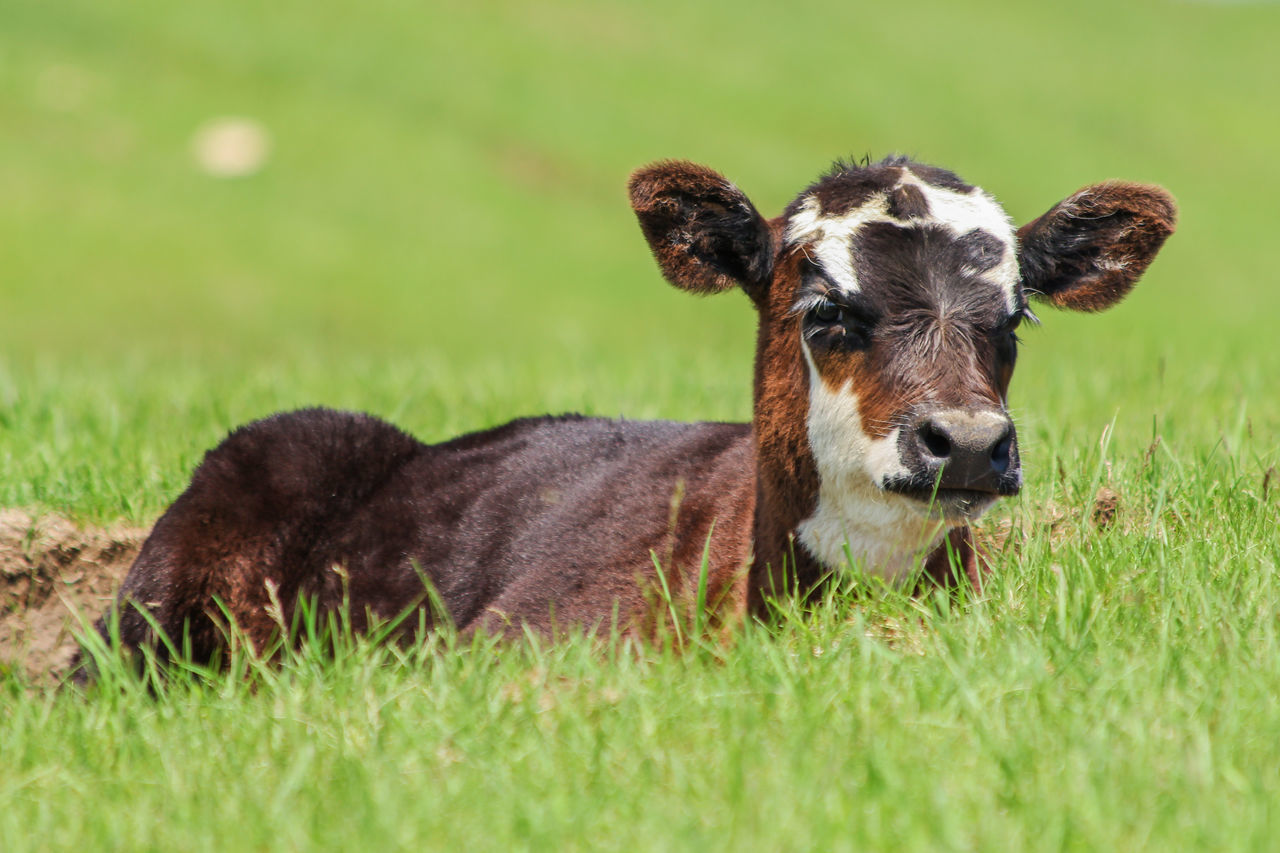 Agriculture Animal Black Black Angus Calf Canon60d Canonphotography Cattle Day Domestic Animals Farm Grass Green Laying Down Livestock Looking At Camera Outdoors Pasture Ranch