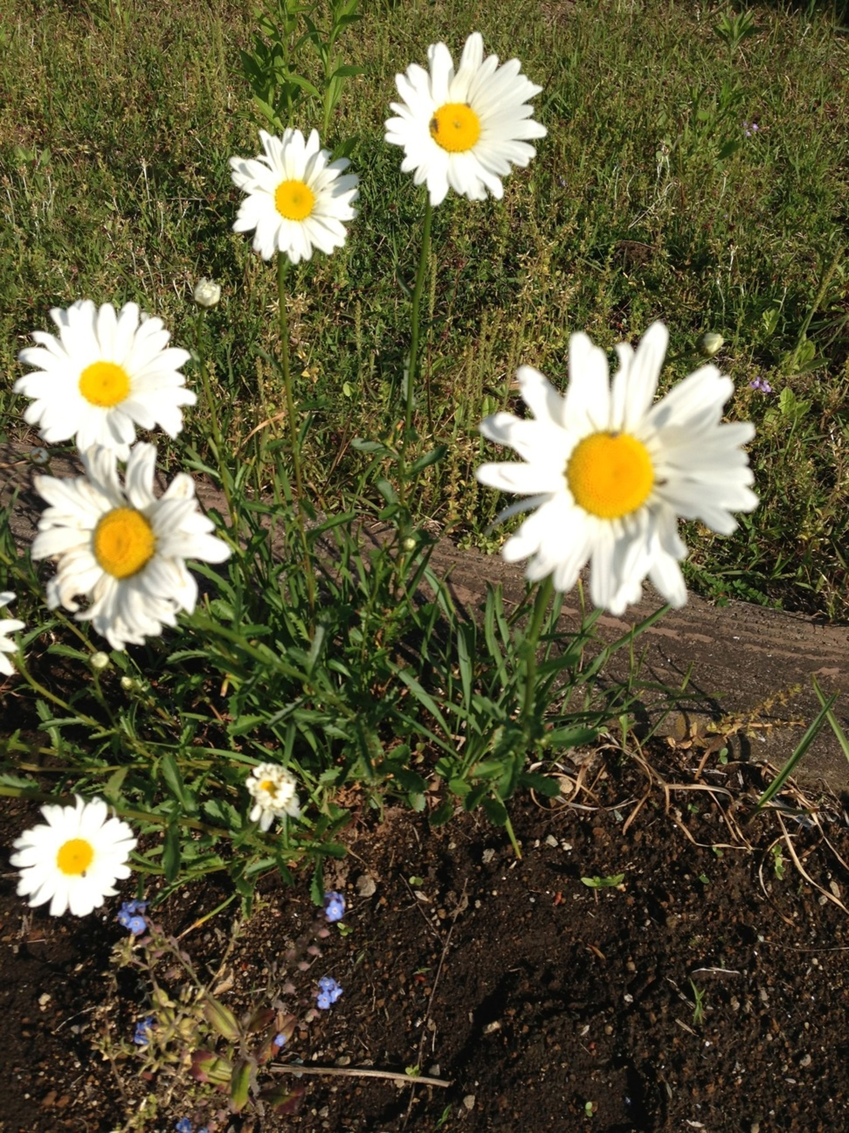 flower, freshness, petal, fragility, daisy, growth, white color, high angle view, field, flower head, beauty in nature, nature, blooming, plant, yellow, grass, wildflower, pollen, in bloom, day