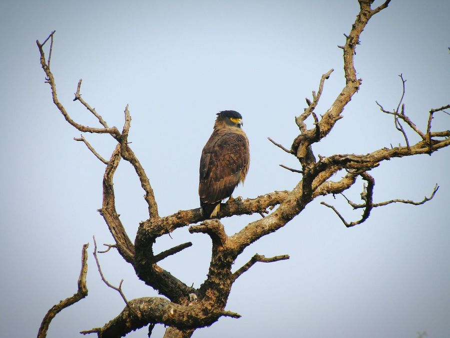Animal Wildlife Bird Animals In The Wild Bird Of Prey Day Perching Full Length No People Branch Tree Outdoors Nature Animal Themes Sky Serpent Eagle Beauty In Nature Animals In The Wild Nature