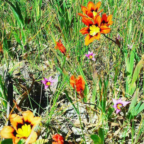Flowers Wildflowers Nature Daisies Daisy Grass Australia South Australia Barossa Barossa Valley Native Australian Flora Nature On Your Doorstep Flowerporn