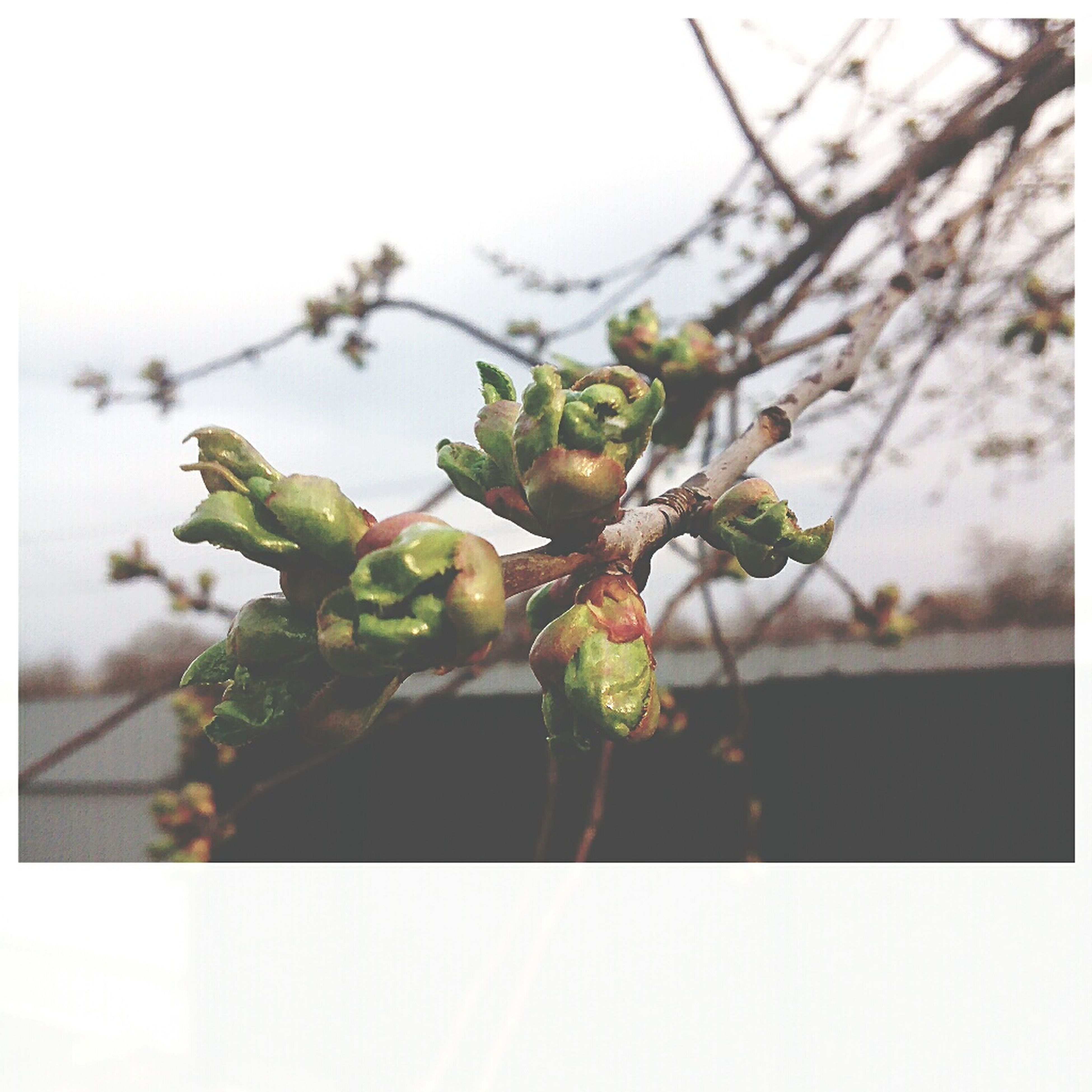 growth, nature, focus on foreground, tree, close-up, no people, food and drink, branch, freshness, fruit, healthy eating, day, food, beauty in nature, outdoors, sky