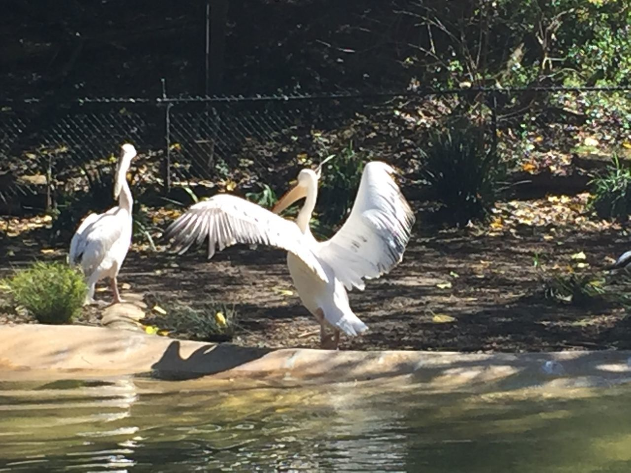 animal themes, bird, animals in the wild, white color, animal wildlife, lake, swan, day, sunlight, water, nature, waterfront, no people, outdoors, spread wings, beauty in nature