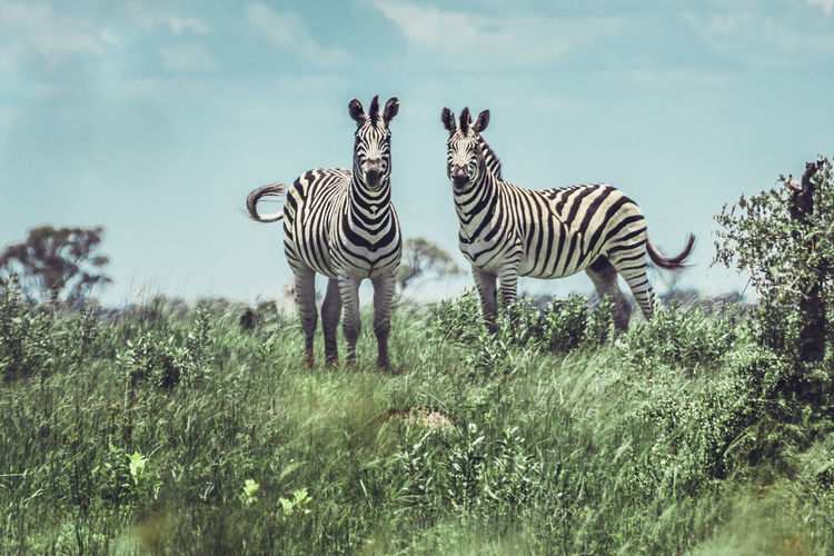 Animal Markings Animal Themes Animal Wildlife Animals In The Wild Day Full Length Grass Mammal Nature No People Outdoors Safari Animals Sky Standing Striped Togetherness Tree Two Animals Young Animal Zebra