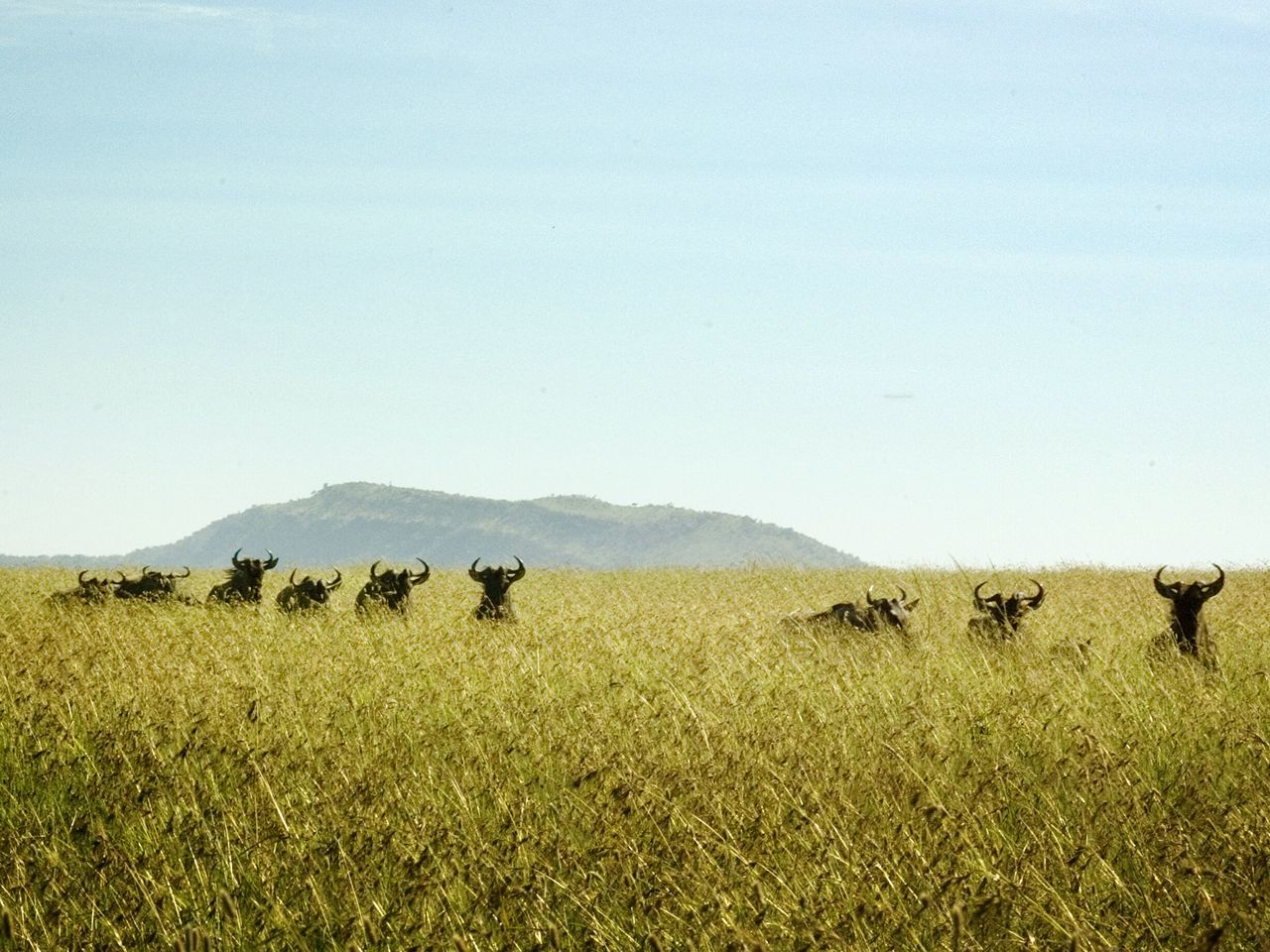 Landscape Animal Themes Field Nature No People Growth Mammal Serengeti National Park Tanzania Animals In The Wild Safari Animals Wildebeest Mountain