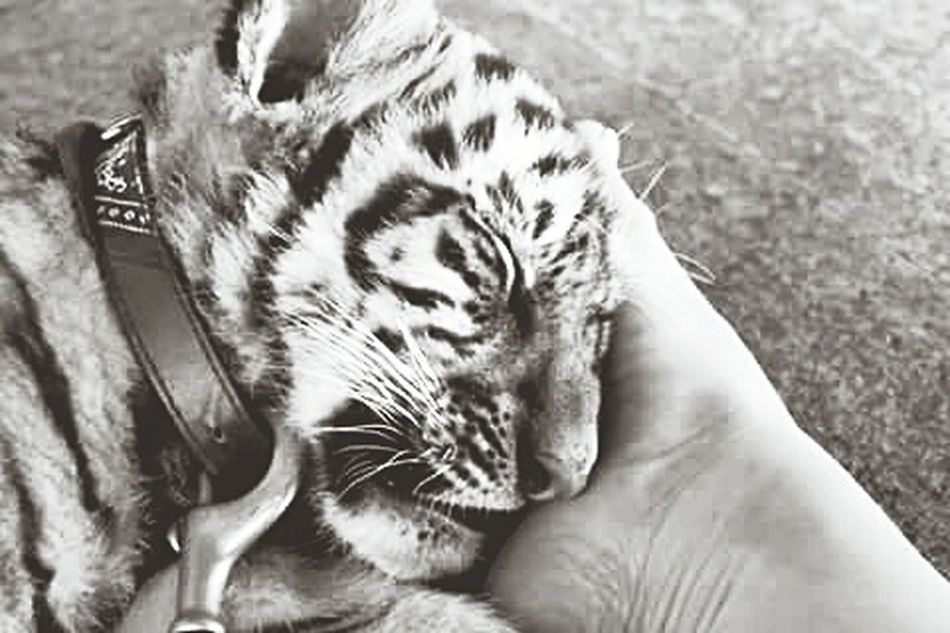 Take Me Back! Thailand Tiger Temple 😊 Love There Faces X Baby Tigers X