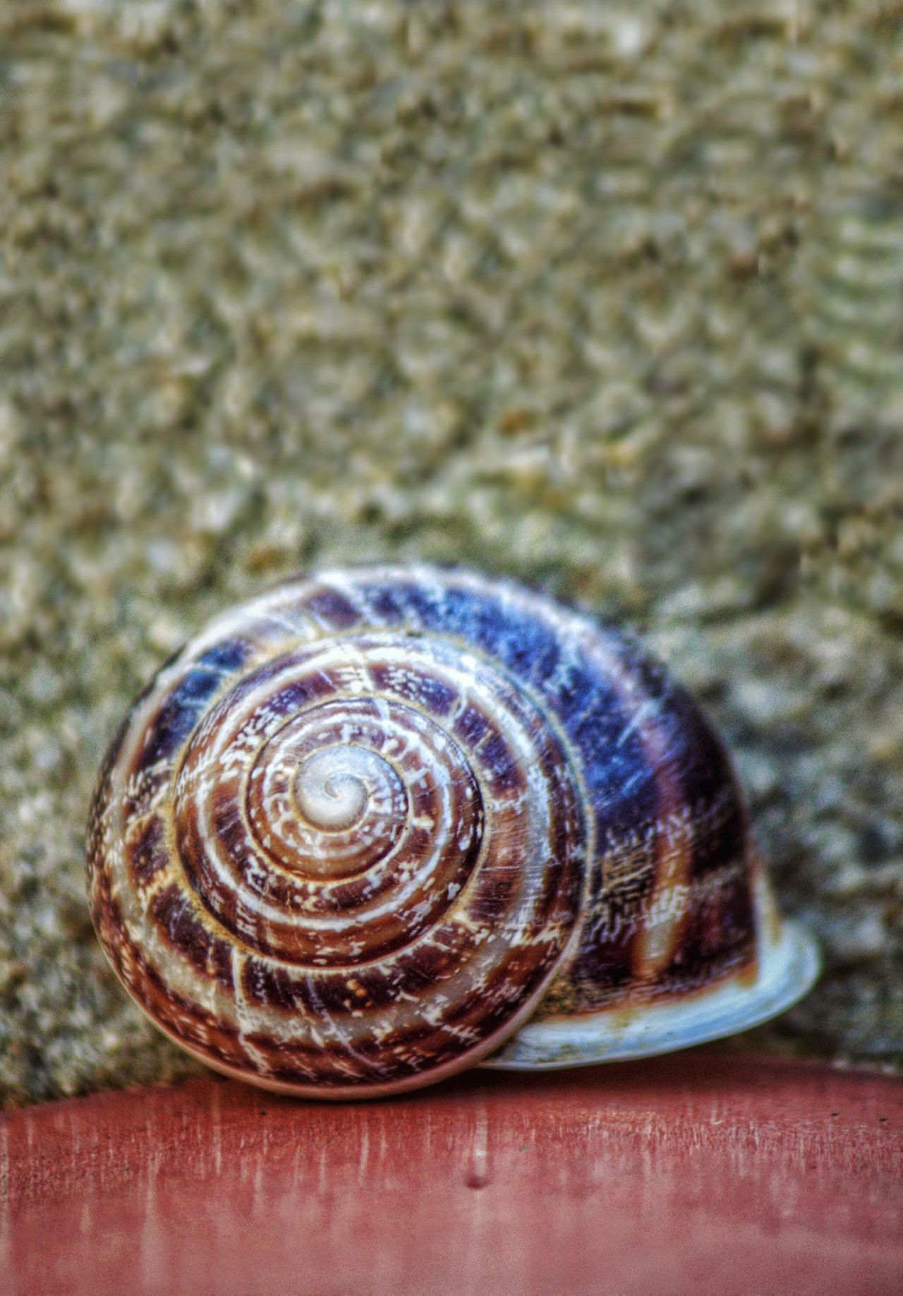 Shell Close-up Gastropod Snail Snailshell Snail Shell Snail Collection Snail Photography Snails Snail🐌 Snail Shell Close Up Snail Shells Snail Shell Closeup Close Up Shell Spiral Spirals Spiral Shell Spiral Shape Snail ❤ Empty Shell Empty Shells Shells Shell Collection Shell Photography Shell Photo