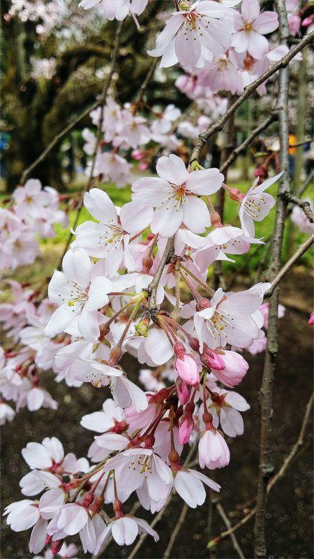 Cherry Blossoms Flowers Cherry Tree Tokyo Rikugien Garden 1695-1702 Special Place Of Scenic Beauty Japan Edo Garden Nature Naturelover EyeEM Tokyo EyeEm Japan Eyeem Spring Eyeem Nature Eyeem Photography