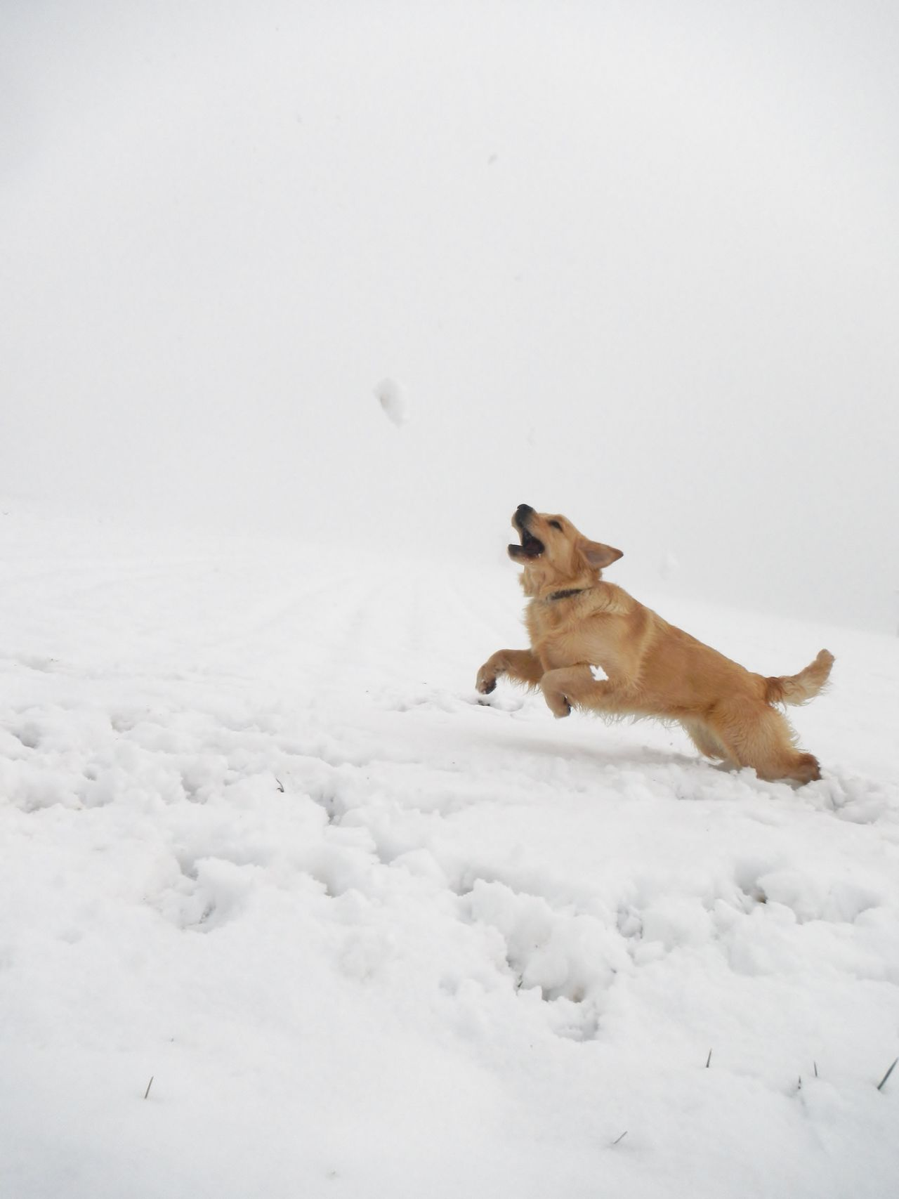 Activity Dog Dog Love Dogs In The Snow Dogs Of EyeEm Dogs Of Winter EyeEm Gallery EyeEm Nature Lover Golden Retriever Jumping ! Natural Beauty Nature Nature_collection Nature On Your Doorstep Nature Photography Nature_collection Outdoor Photography Outdoors Running Dog Snowscape Chaching Capturing Movement Photography In Motion Slovenia Scapes Need For Speed Waiting Game My Year My View