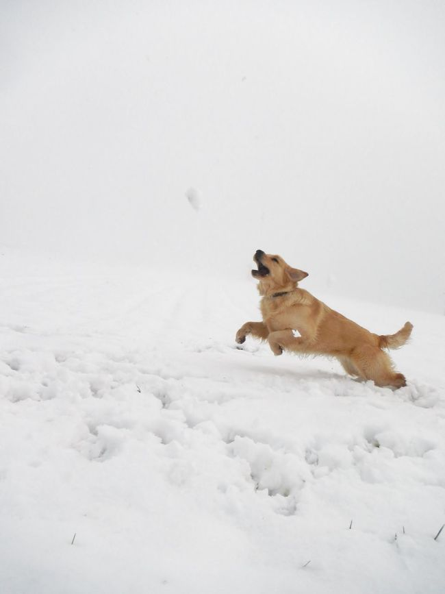 Activity Dog Dog Love Dogs In The Snow Dogs Of EyeEm Dogs Of Winter EyeEm Gallery EyeEm Nature Lover Golden Retriever Jumping ! Natural Beauty Nature Nature_collection Nature On Your Doorstep Nature Photography Nature_collection Outdoor Photography Outdoors Running Dog Snowscape Chaching Capturing Movement Photography In Motion Slovenia Scapes Need For Speed
