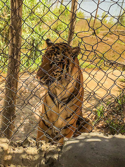 Animal Themes Animals In The Wild Cage Chainlink Fence Day Mammal Nature No People One Animal Sky Tiger Tiger Face Tiger Love Tigers Tree Zoo First Eyeem Photo