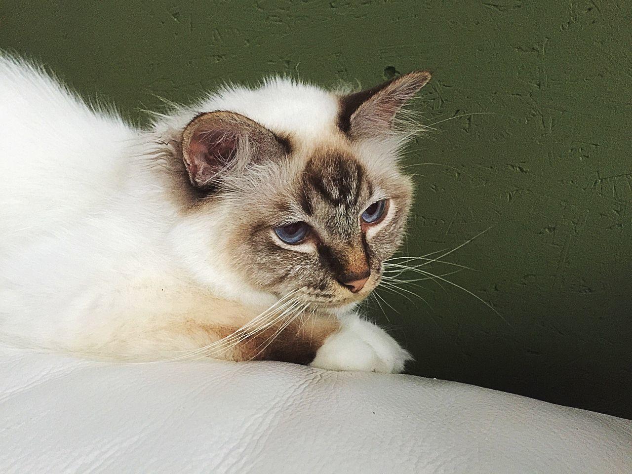 Birman  Birman Cat Heilige Birmaan Cat Kat Greenwall Green Dreamy Lazy Cat