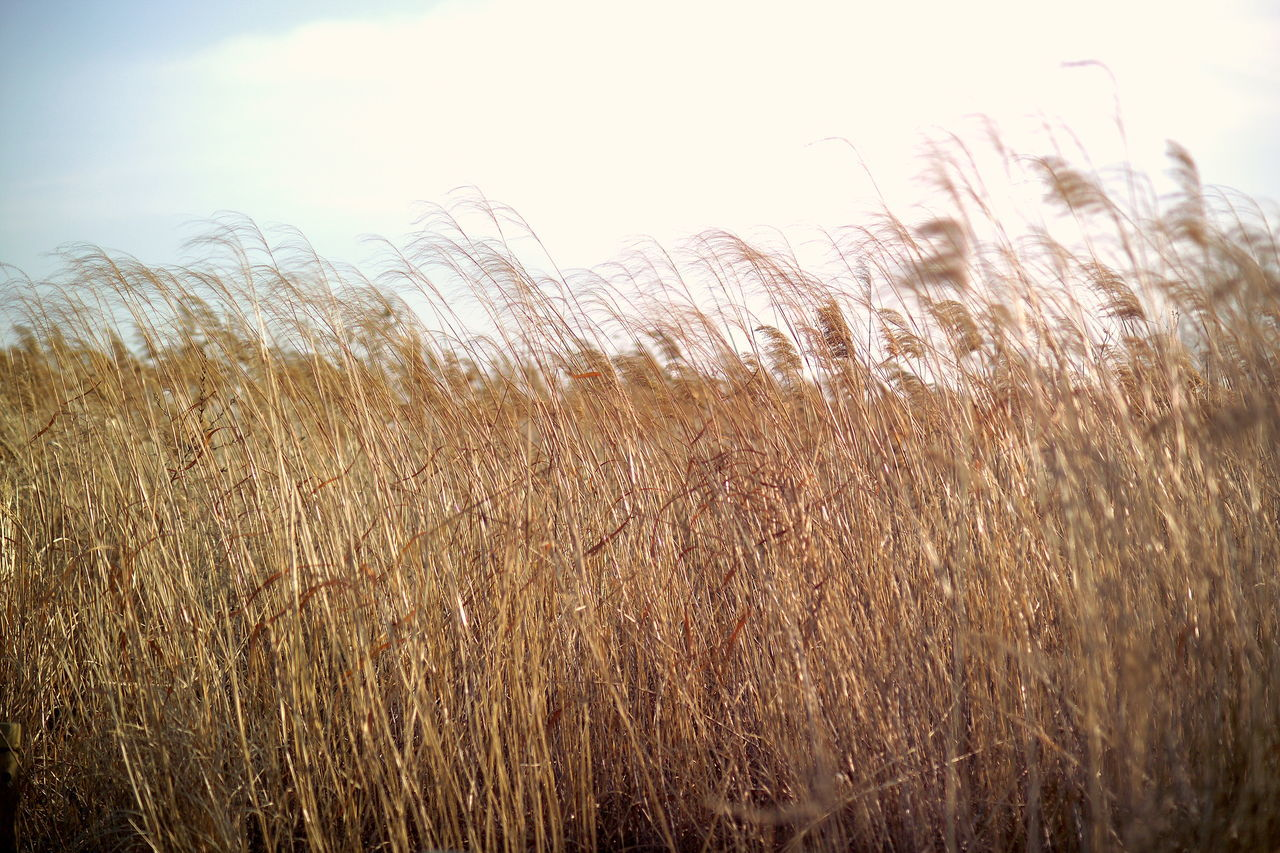 Sky No People Sunset Close-up Outdoors Gold Colored Nature Frosted Glass Reeds Reed Grass Snapshot Nature_collection Nature Photography Feeling Inspired