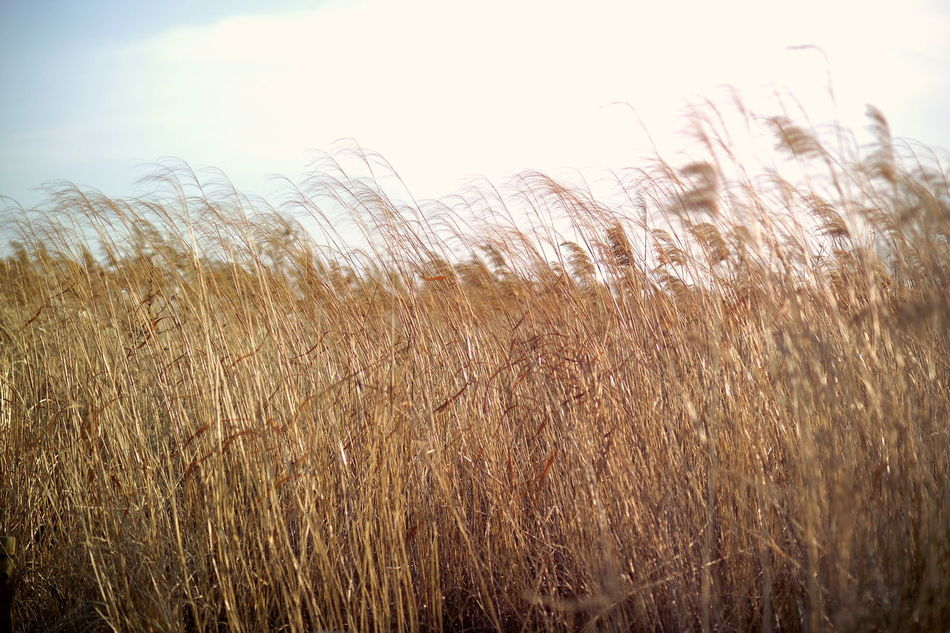 Sky No People Sunset Close-up Outdoors Gold Colored Nature Frosted Glass Reeds Reed Grass Snapshot Nature_collection Nature Photography Feeling Inspired Long Goodbye