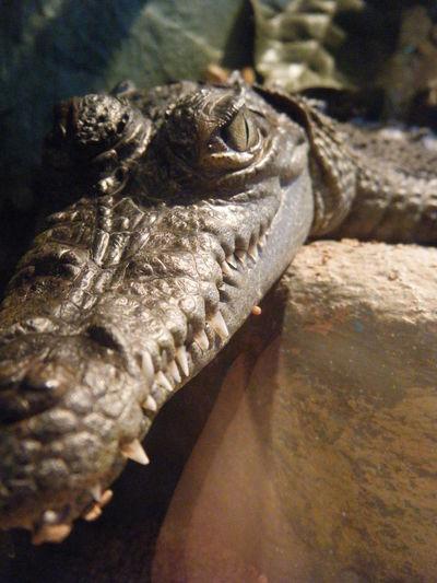 Gator Alligator Close Baby Sun Eye Teeth Nose Brown