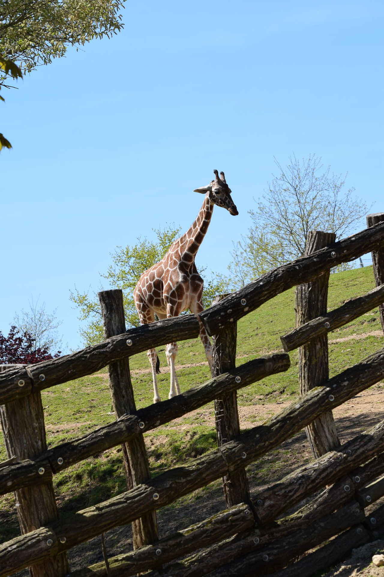 giraffe Animal Themes Animals In The Wild Clear Sky Day Giraffe Low Angle View Mammal Nature No People One Animal Outdoors Sky Tree Wood - Material