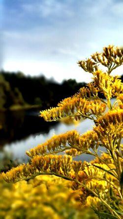 Blury Background Golden Rod