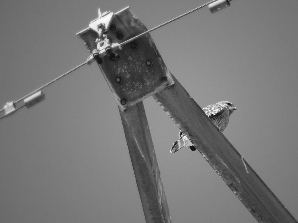 Animals Bird Falcon Powertower Highinthesky Angled View Prospective Monochrome Photography