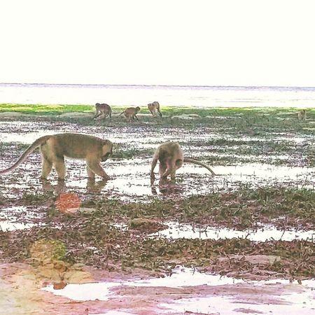Monkeys love seafood too... Baluran Balurannationalpark Monkey Animal wildlife jawatimur java indonesia travel