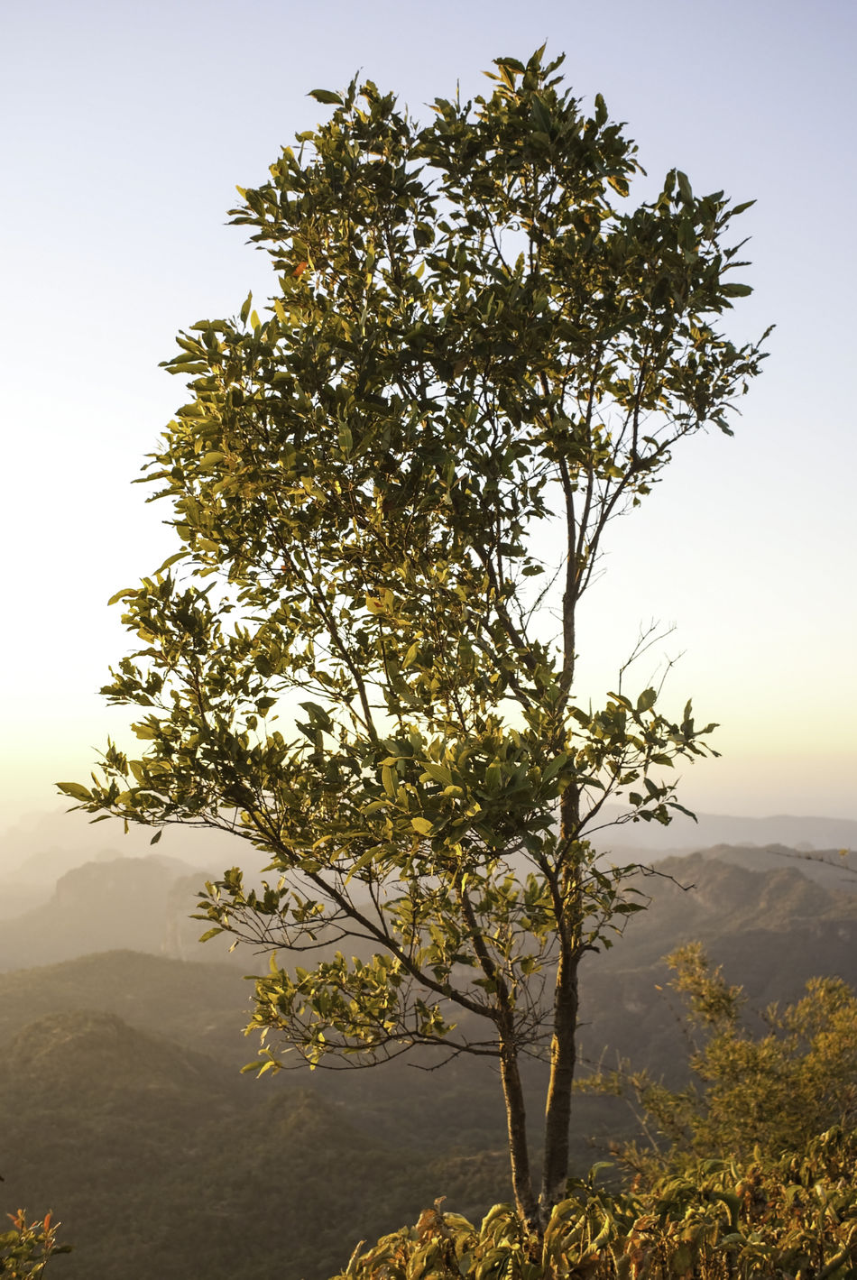 A tree in the light of the setting sun at sunset. The tree (including leaves, stem, branches) have an orange tinge due to the colors of sunset. Nature No People Outdoors Setting Sun Small Tree Sunrays Sunset Sunset_collection Tree