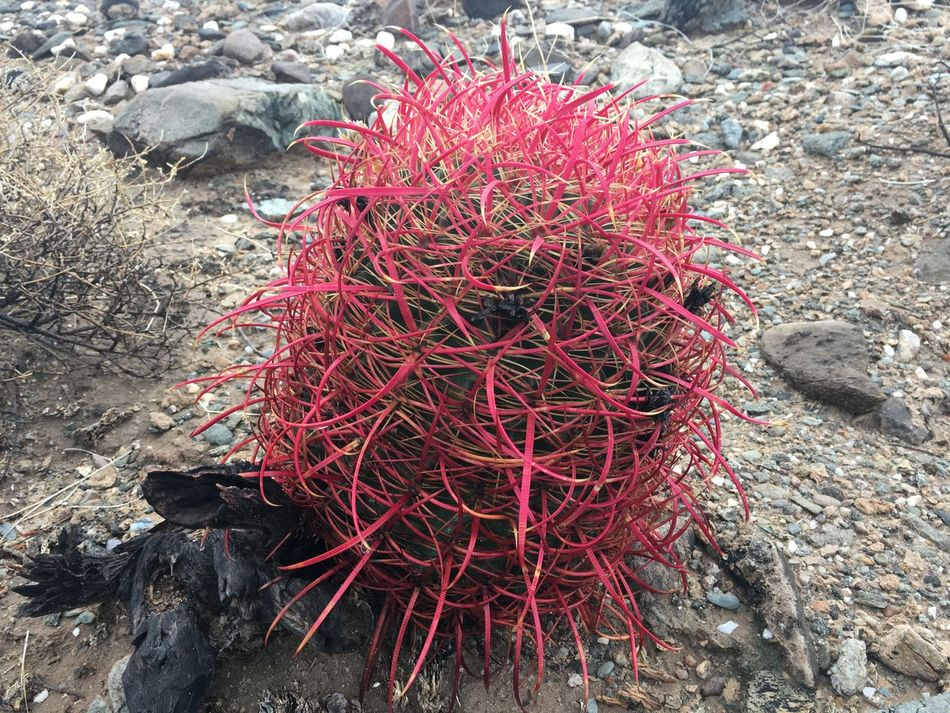 Barrel cactus in the Arizona desert showing brilliant colors after a December rain. Arizona Arizona Desert Arizona Plant Life Barrel Cactus Beauty In Nature Cactus Day Growth Nature No People Outdoors Pink