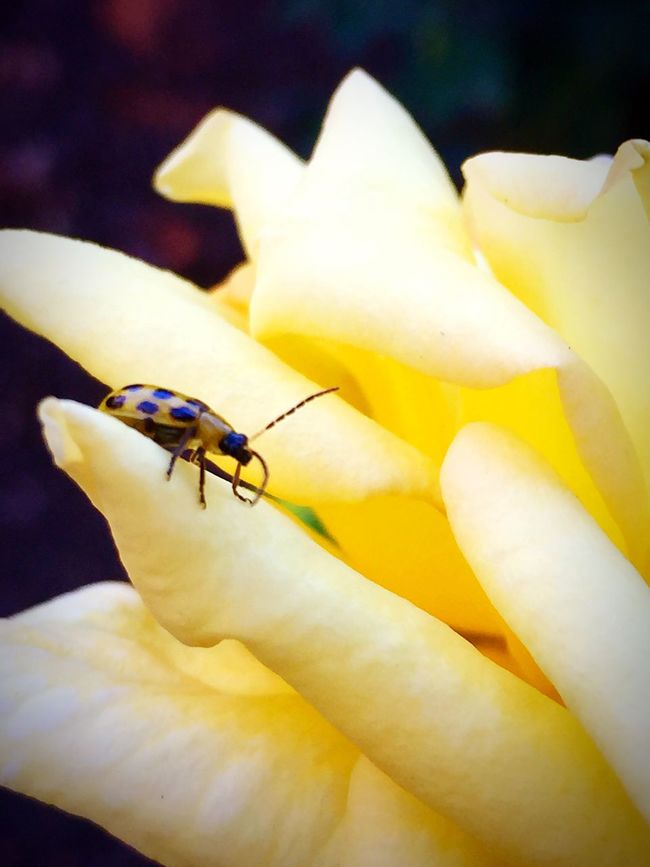 Insect Petal Macro Flower Beauty In Nature Yellow Close-up Flower Head Nature Rosé Bug