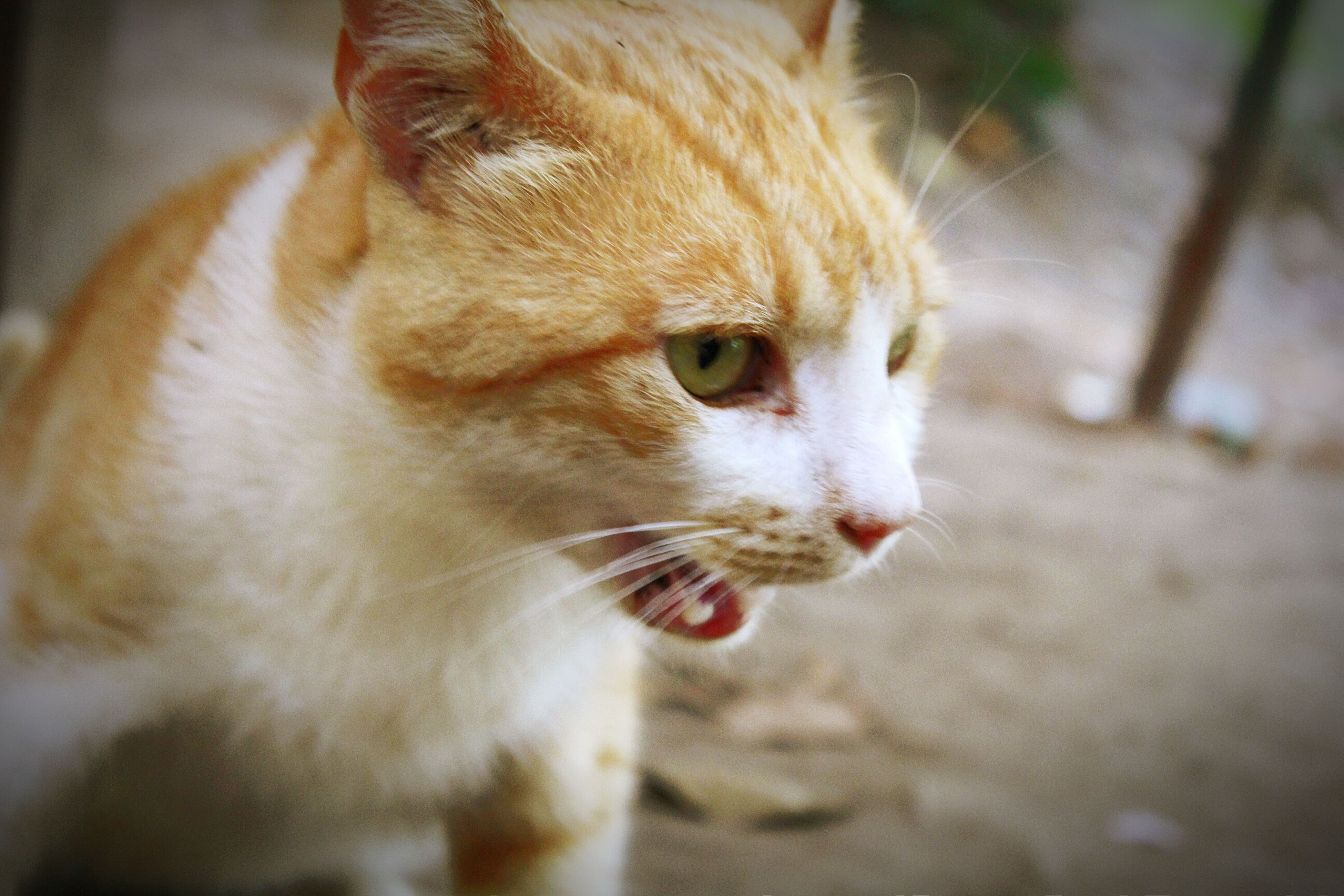 one animal, animal themes, pets, domestic animals, domestic cat, mammal, cat, feline, whisker, close-up, portrait, looking at camera, animal head, selective focus, focus on foreground, indoors, alertness, no people, animal eye