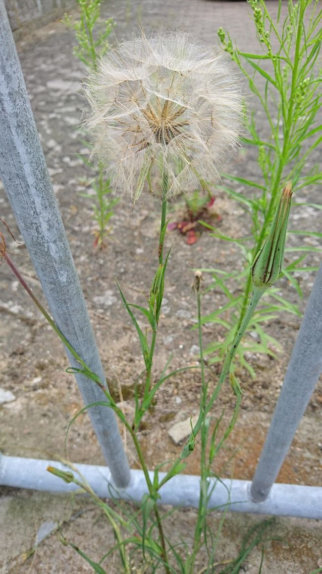 Dandelion Seeds Dandelion Seed Seeds Sommer Village Village Life Green Greens Weed Fence Bricks Wall Growing Growth Beauty Of Decay