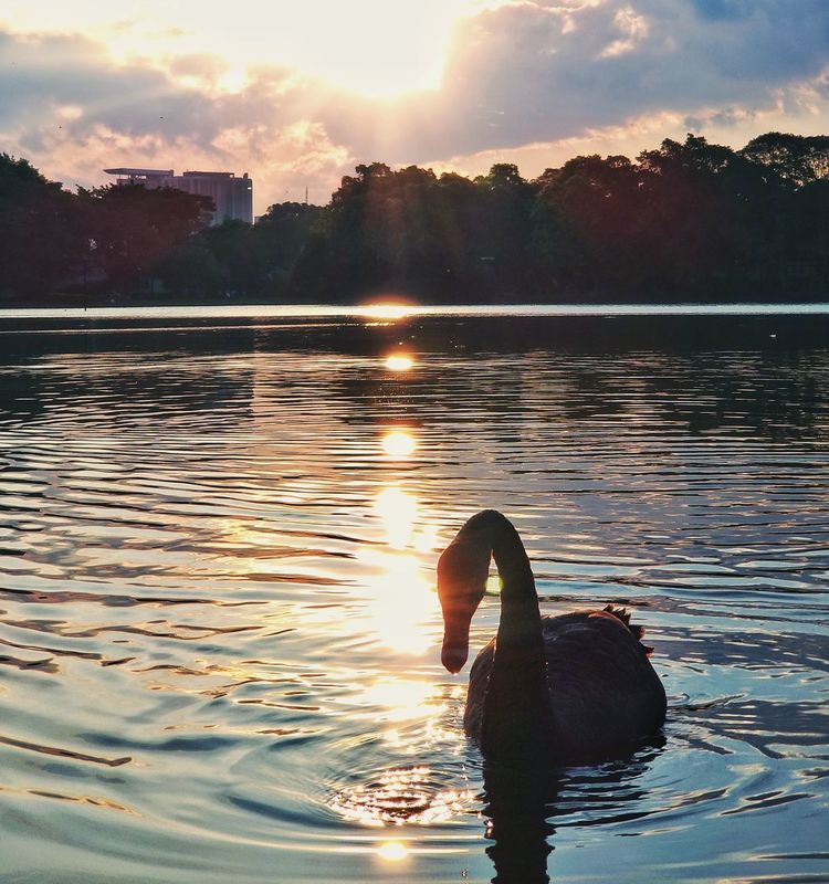 Sunset Water Reflection Outdoors Nature Sun Swimming Sky Sunlight Lake Cloud - Sky No People Beauty In Nature Day UnderSea Politics And Government Ibirapuera Ibirapuerapark Saopaulo_originals Sampalovers Saopaulocity Saopaulowalk SAMPAcity Saopaulopormeucelular Swan