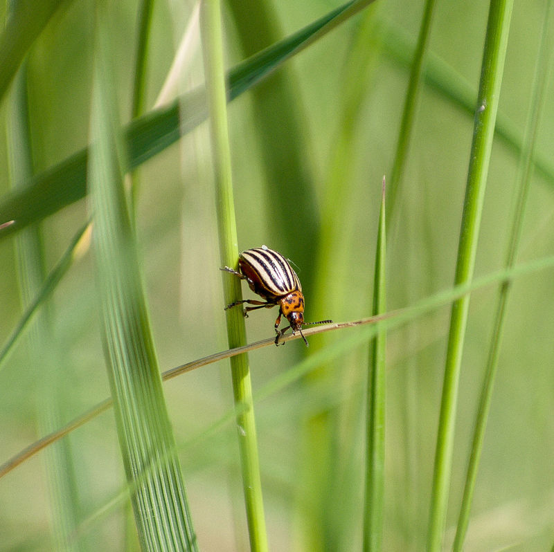 Animal Antenna Animal Markings Animal Themes Beauty In Nature Beetle Bug Climbing Close-up Day Focus On Foreground Green Green Color Growth Insect Leptinotarsa Decemlineata Natural Pattern Nature No People Outdoors Plant Selective Focus Wildlife