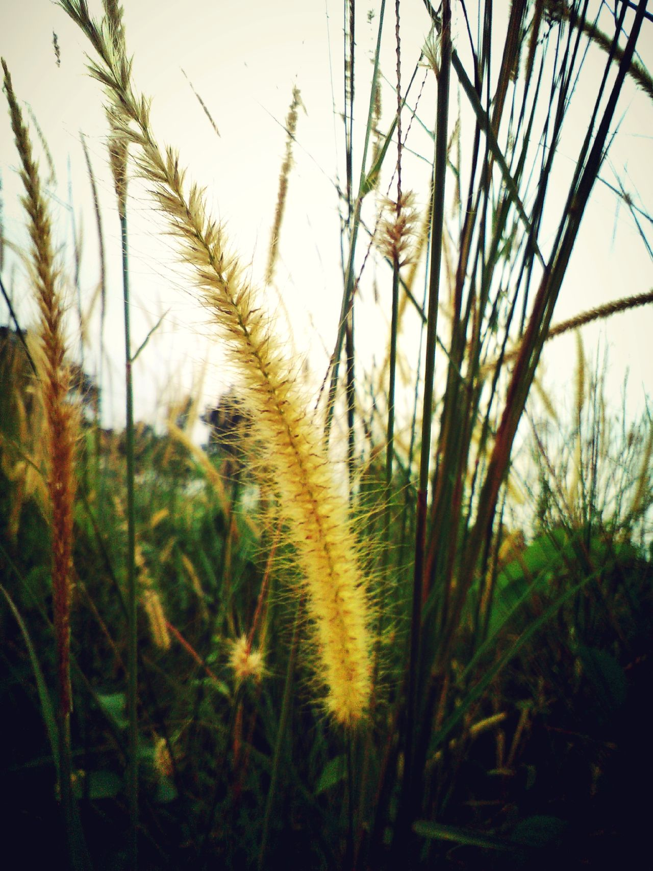 Coarse Grass Landscape_photography Beautiful Nature Landscape_captures Natural Beauty Closeup In Nature Close Up Nature Green Nature