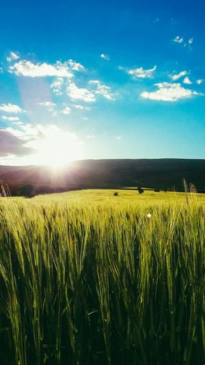 Be. Ready. Crop  Sky Nature No People Day Farm Field Agriculture Blue Landscape Beauty In Nature Clear Sky Photographer Photography EyeEm Best Shots Backgrounds Nature Silhouette Sunset Cereal Plant Canon Beready