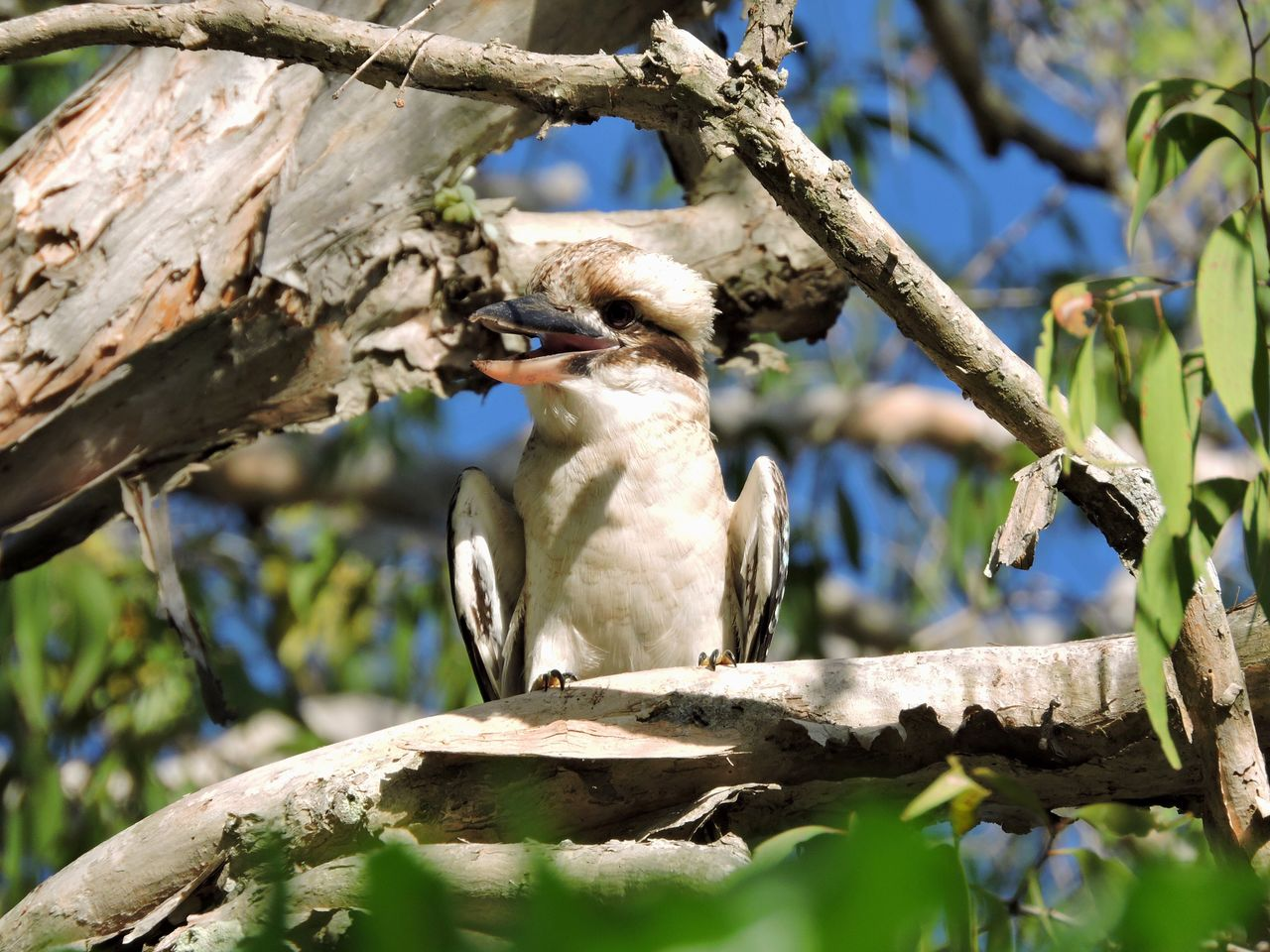 Laughing Kookaburra Australian Australia Bird One Animal Animal Themes Animals In The Wild Animal Wildlife Tree Perching Nature Branch Tree Trunk Day No People Outdoors Close-up Wildlife Predator Wildlife & Nature Bird Photography Beauty In Nature Wildlife Photography Sky