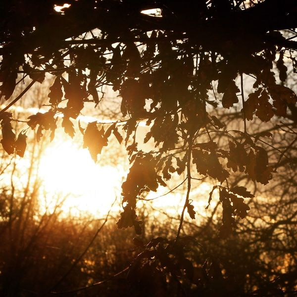 Golden Summer/ Autumn 2017 Tree Nature Growth Silhouette Sunlight Branch Forest Beauty In Nature Sun Leaf Outdoors No People