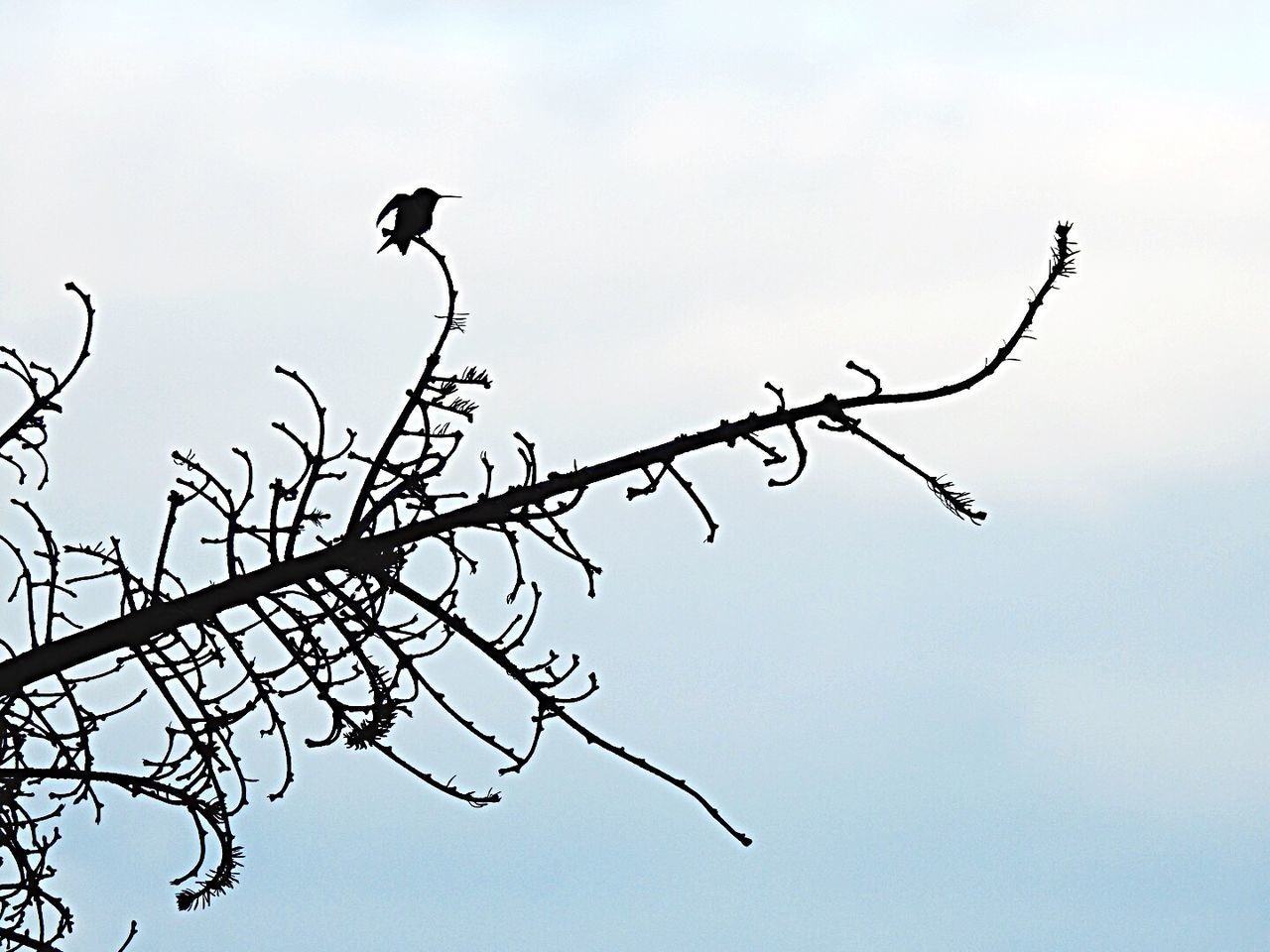 Bird No People Branch Perching Bare Tree Nature Outdoors Hummingbird Silhouette