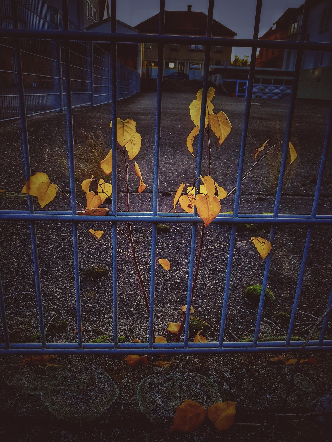 Metal Safety Fence Protection No People Day Outdoors Close-up Plant Nature_collection Nature Photography Nature Nature On Your Doorstep Autumn Colors Autumn Collection Branch Autumn Tree Season  Buildings Urban Nature Metal Grate Focus On Foreground Small Tree