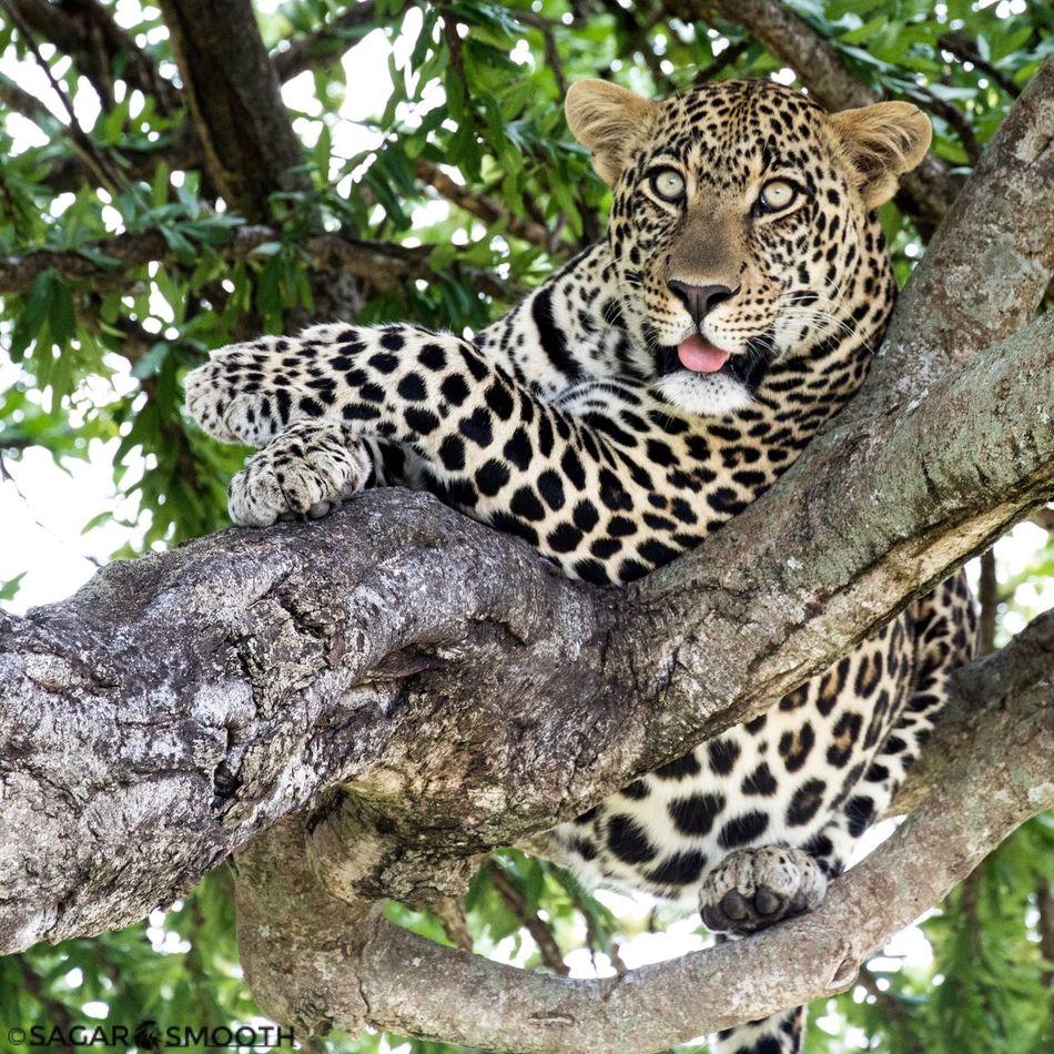 Leopard Animals In The Wild Spotted Nature Maasai Mara Kenya TembeaKenya